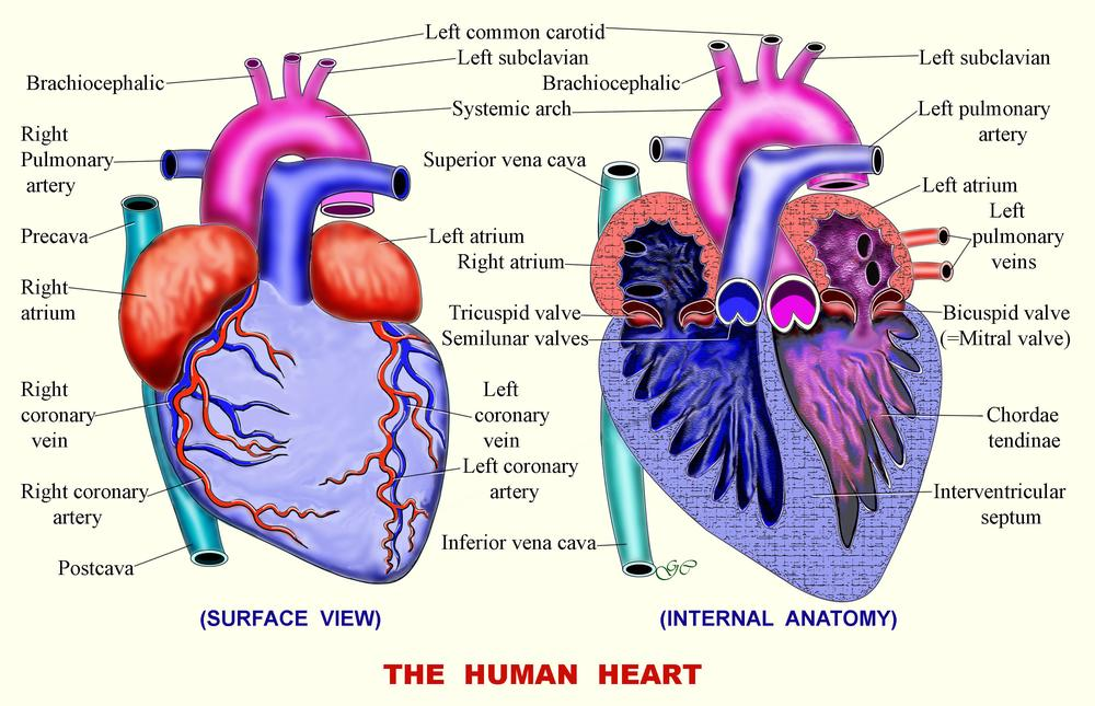 Circulatory System Zoology And Entomology Articles Ias Zoology